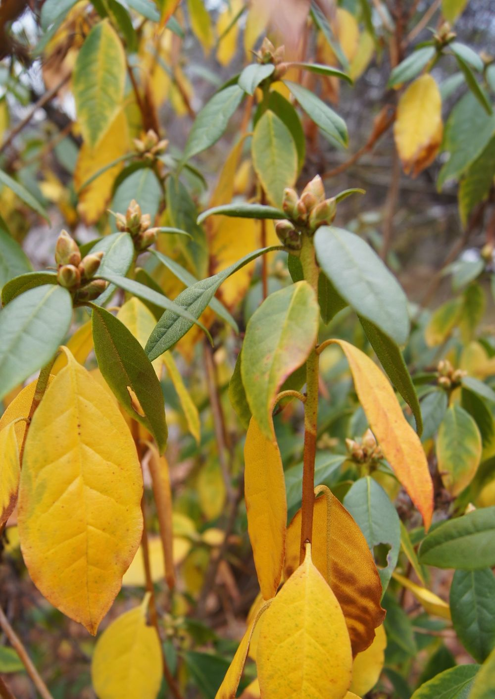 Buds, Rhododendron species, front yard