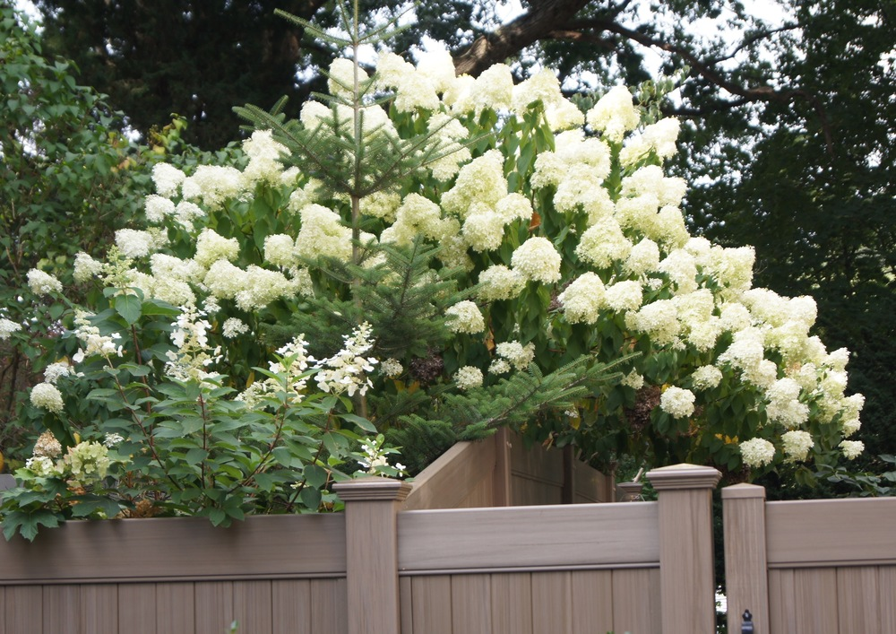 My neighbor's PeeGee Hydrangea
