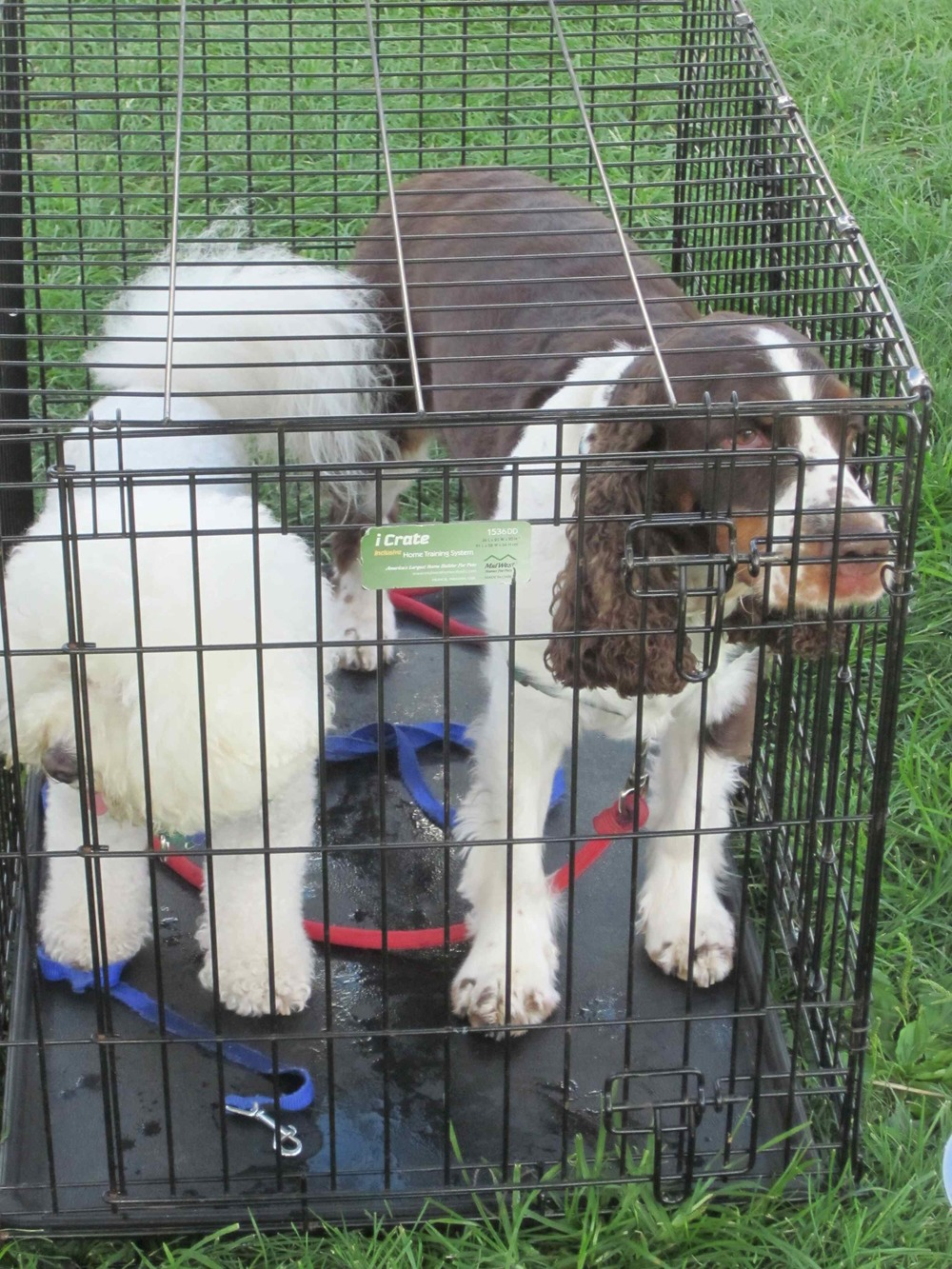 Taffy and Hagrid in the crate Walk for Animals 9-13.jpg