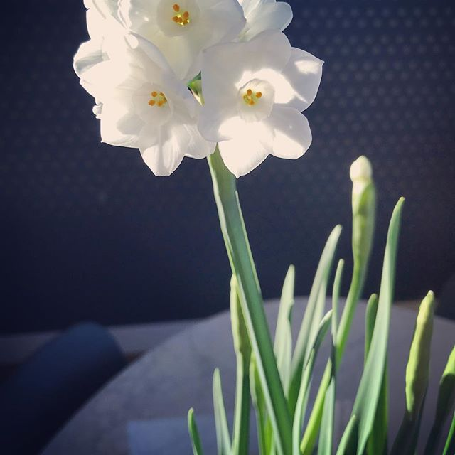It's beginning to look a lot like Christmas #paperwhites #modernholidays #morninglight #inhabitdesignsinc