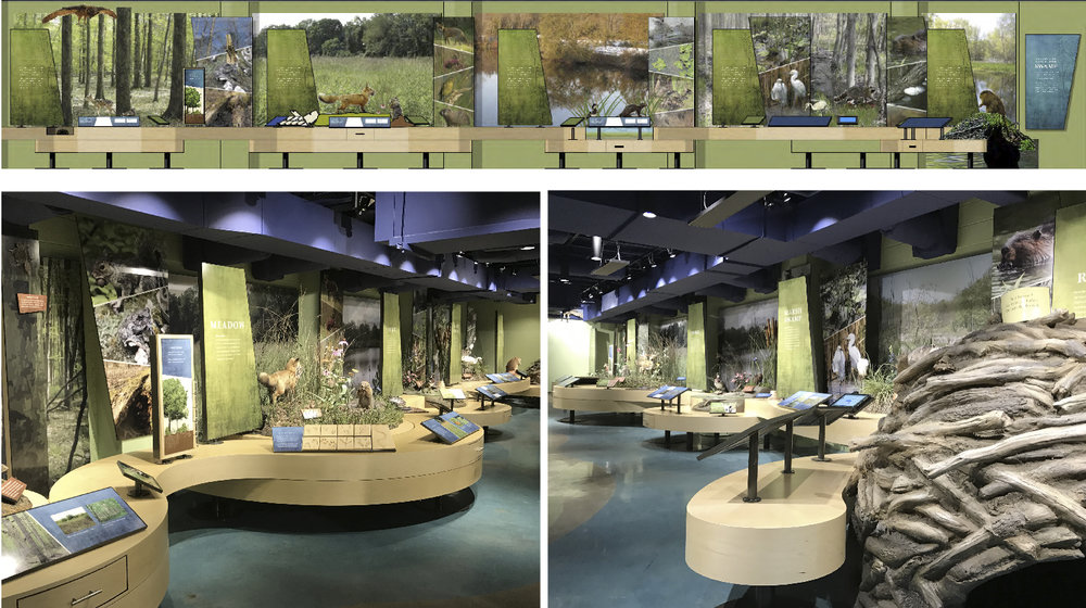 Design development elevation and photos of installed habitat wall exhibit.  Exhibit begins with a crawl through beaver lodge and concludes with an interactive tree.  The photos don't show that this area features a natural soundtrack playing over directional speakers.  Additionally, acoustic absorption materials were detailed into exhibit and graphic features to keep sounds in this area from bleeding into other exhibits.  Unlike many museums the collection of taxidermy specimens are almost entirely out in the open placed just beyond visitors reach but close enough to get a really good look.