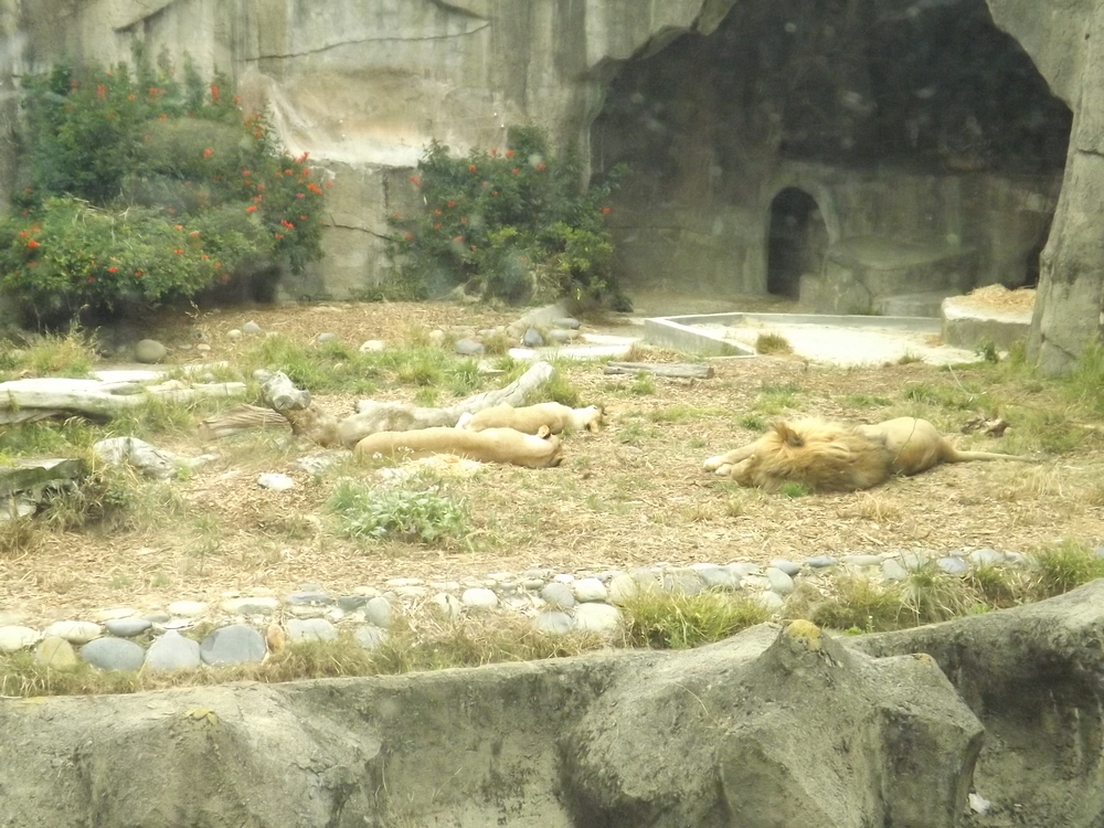 "We arrived at the zoo about an hour after feeding time, so a lot of the animals were in a pretty lazy mood. Normally when A sees a picture of a lion, she roars, but I guess she didn't recognize these cats as lions because she just pointed and said, ""Meow!"" when she saw them!"