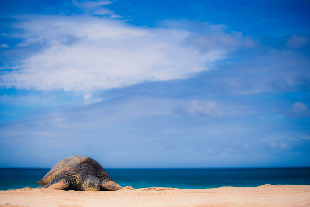 It's a wonderful sight to stumble across a turtle on a quiet beach. This fella was 4ft long.