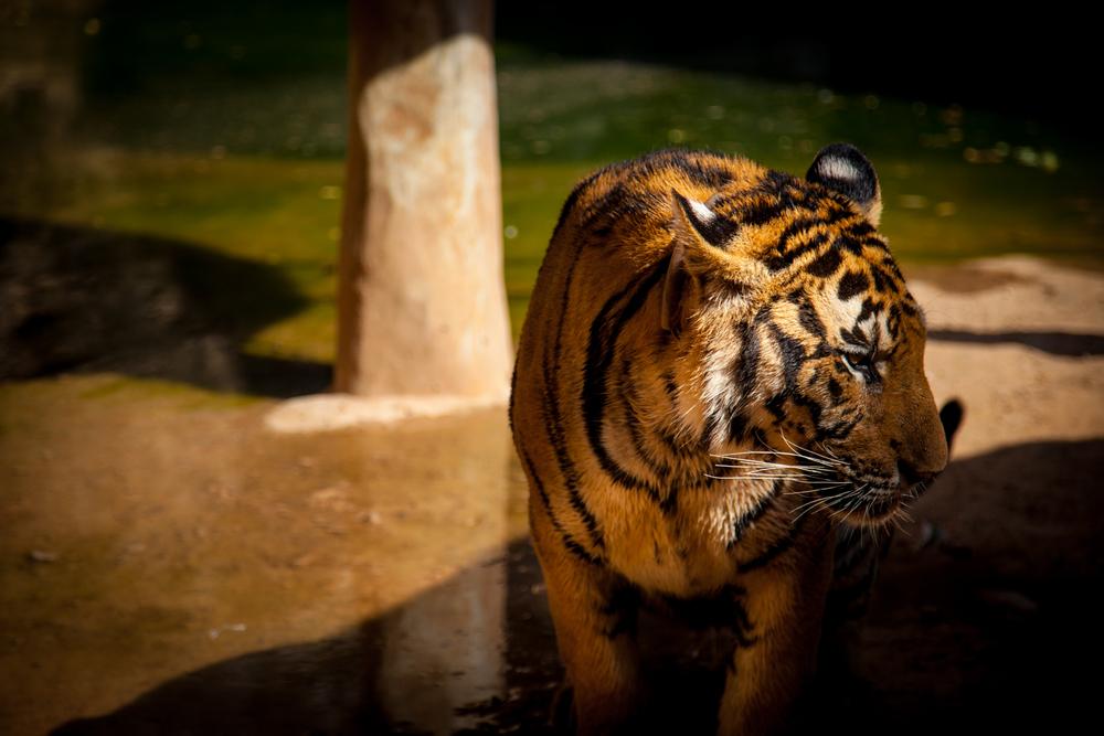 tiger temple tiger6-1.jpg