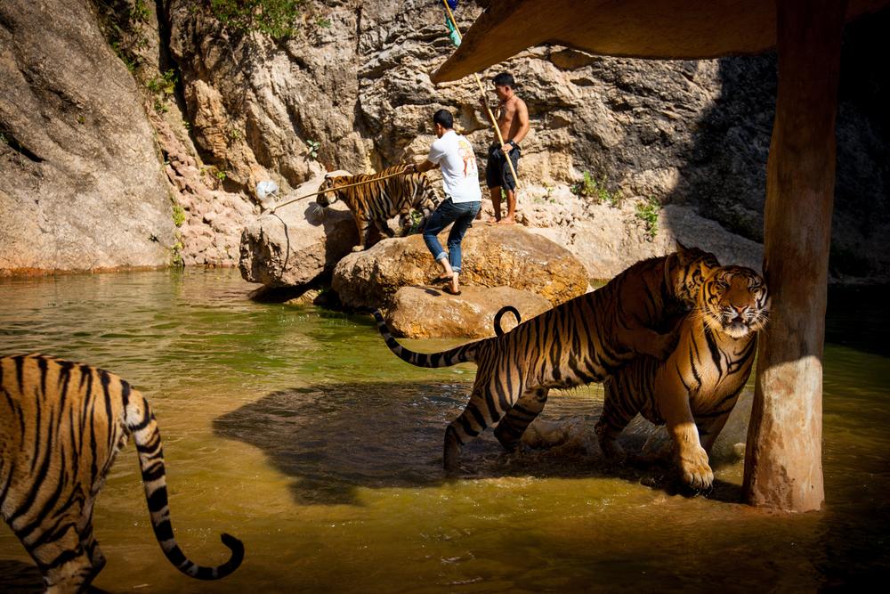 tiger temple tiger7-1.jpg