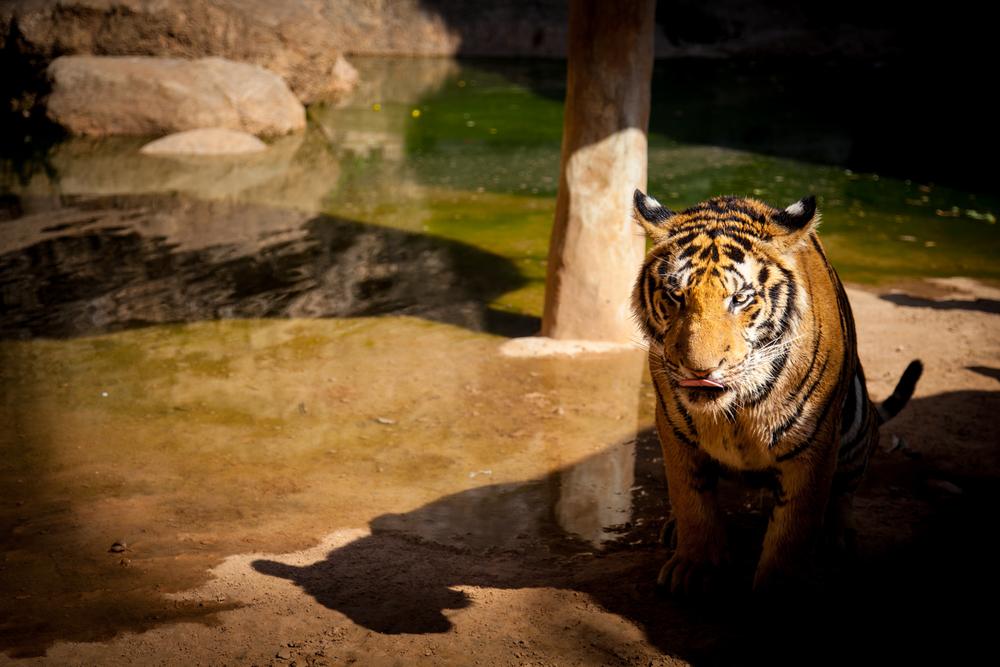 tiger temple tiger5-1.jpg