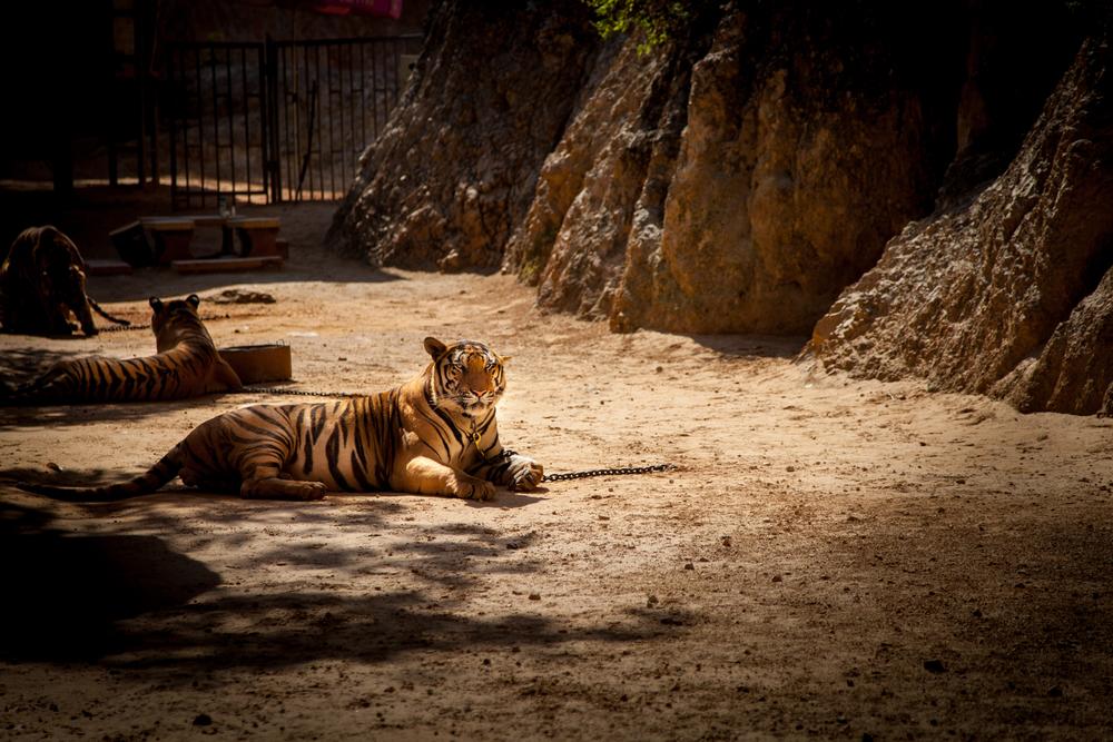 tiger temple tigers-1.jpg