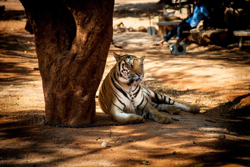 tiger temple tiger4-1.jpg