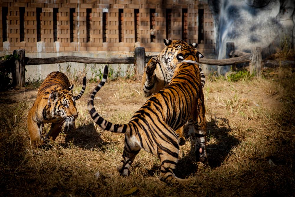 tiger temple tiger3-1.jpg