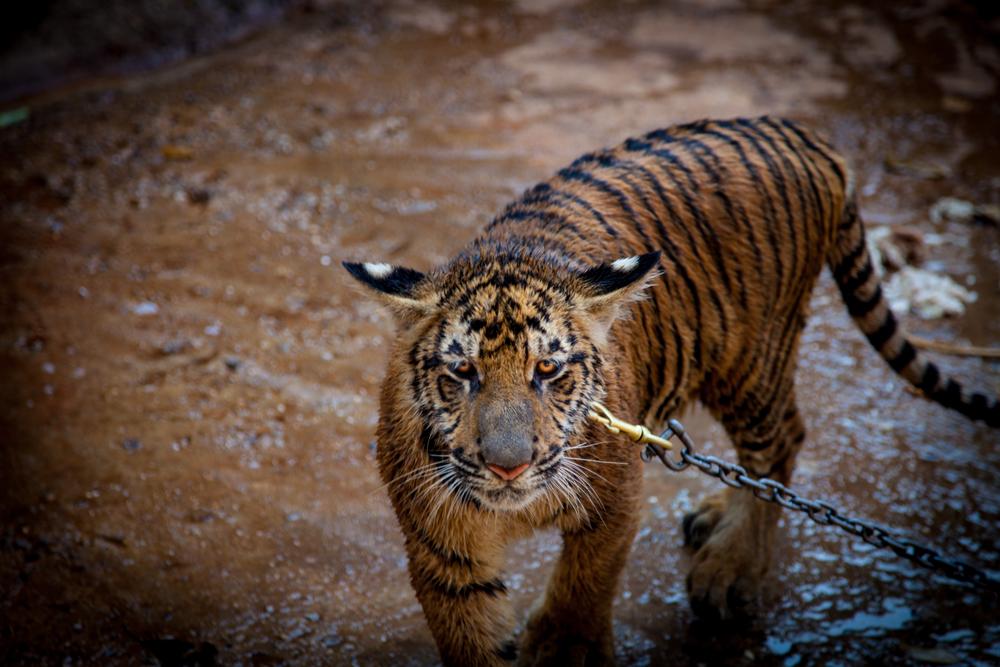 tiger temple tiger-1.jpg