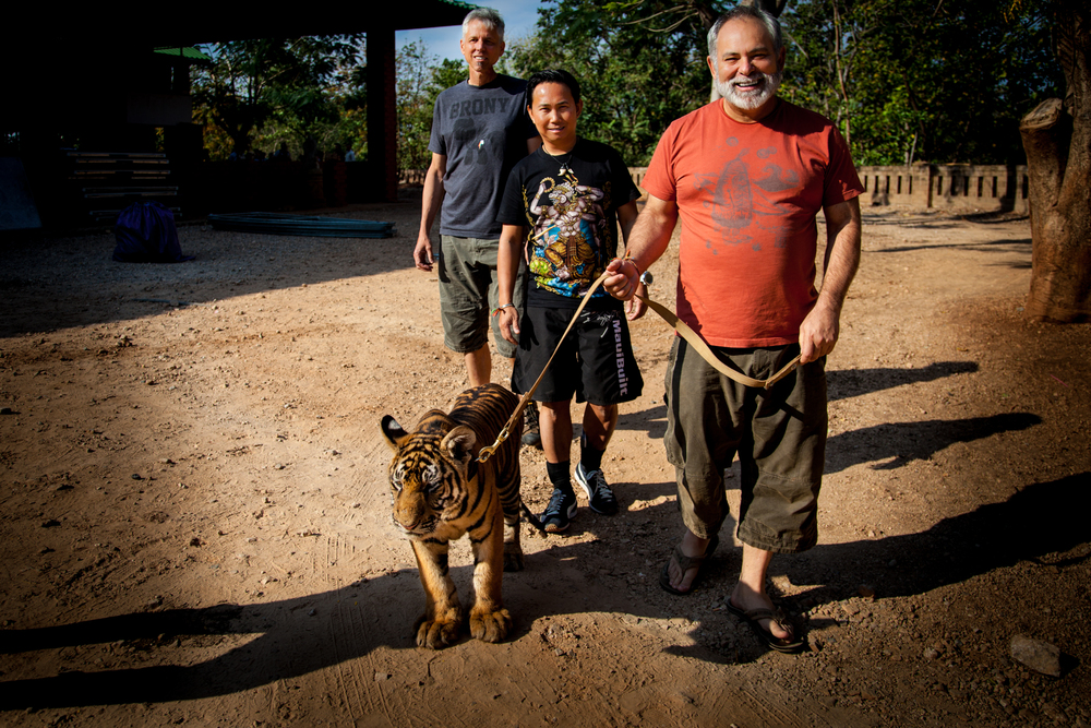 tiger temple tiger walking2-1.jpg