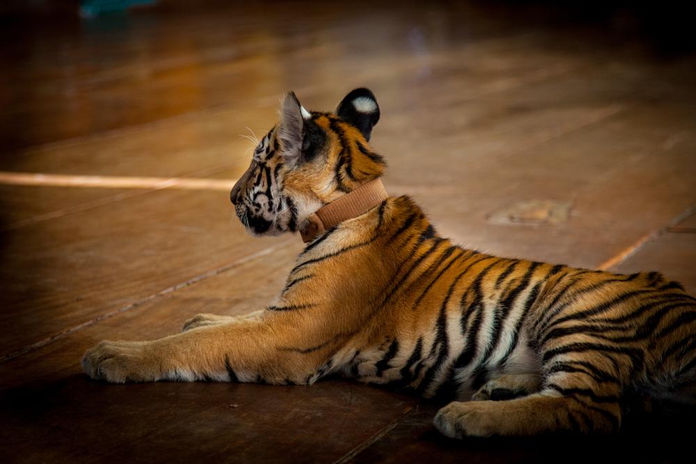 tiger temple baby tiger-1.jpg