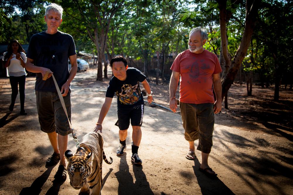 tiger temple dan bobby coyote walking tiger-1.jpg