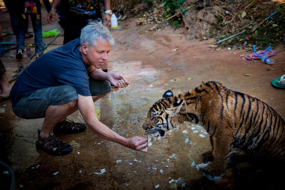 tiger temple dan feeding tiger-1.jpg
