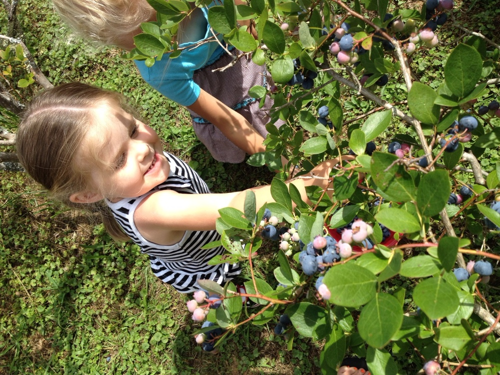 Reagan Peavy picks some yummy blueberries.