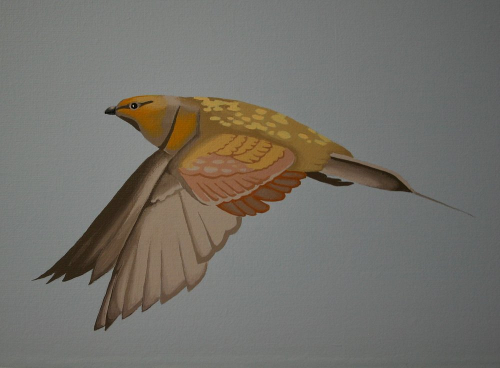 Pin-tailed sandgrouse #2 detail
