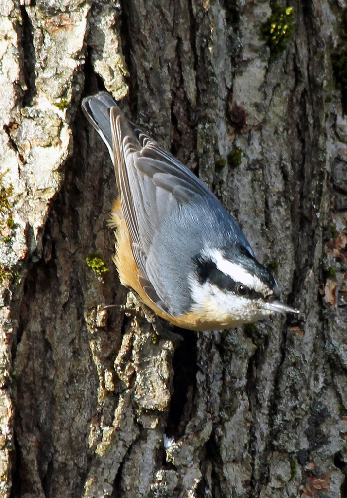 Red-breasted Nuthatch, Vernon, CT