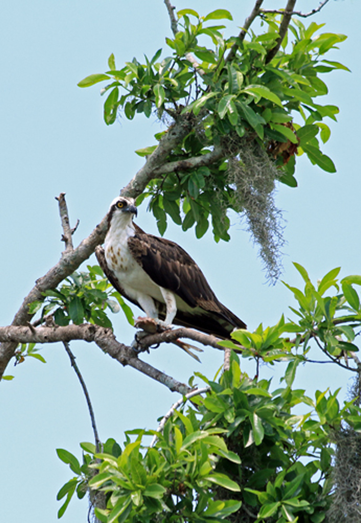 Osprey, Three Lakes Wildlife Management Area, FL