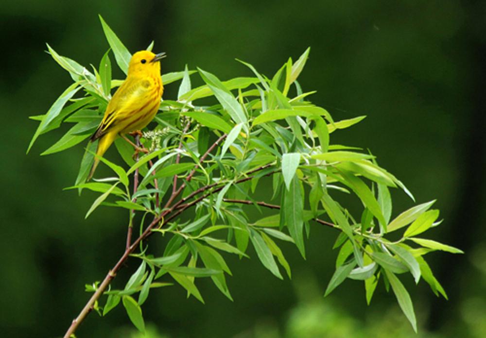 Yellow Warbler, Vernon, CT