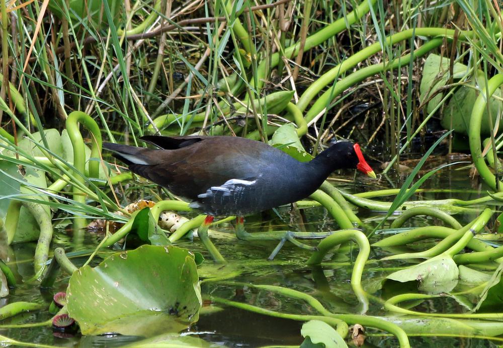 Common Gallinule, Three Lakes Wildlife Management Area, FL