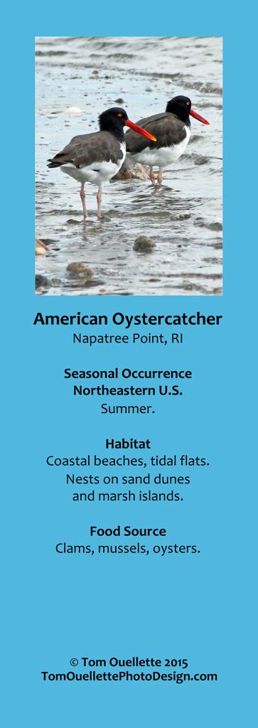 1 SS A1 American Oystercatcher.jpg
