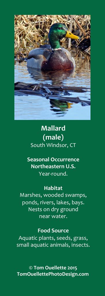 4 SS A5 Mallard.jpg