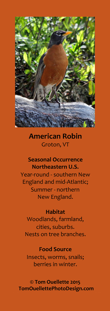 5 SS A2 American Robin.jpg