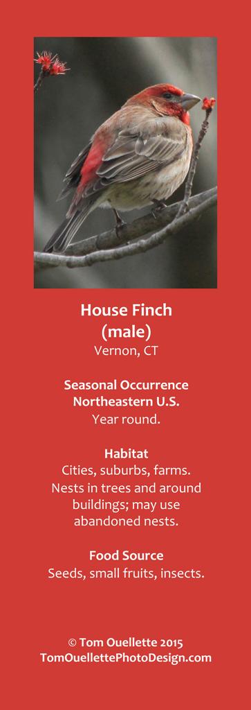 11 SS A4 House Finch.jpg