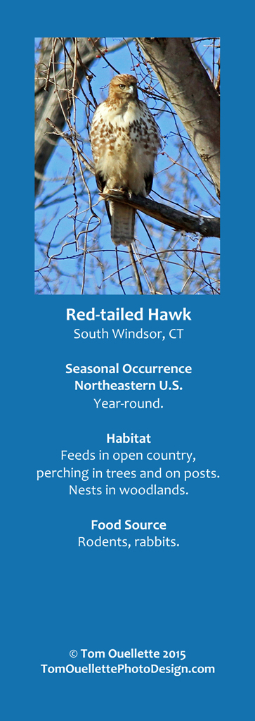 14 SS A9 Red-tailed Hawk.jpg