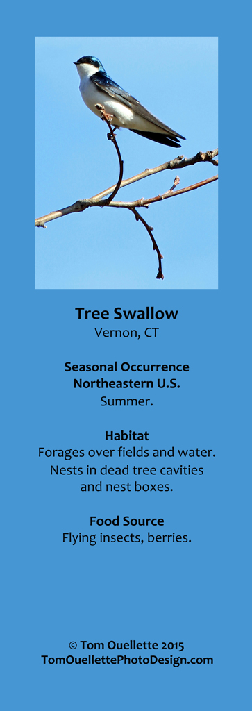 17 SS A13 Tree Swallow.jpg