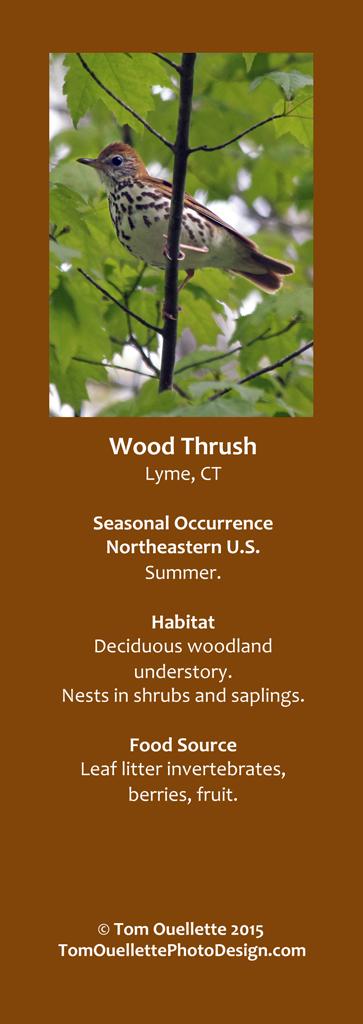 18 SS A15 Wood Thrush.jpg
