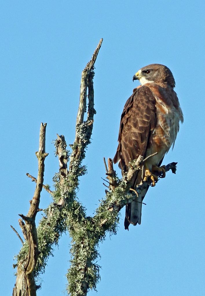 Swainson's Hawk, Anahuac Nat. Wildlife Refuge, TX