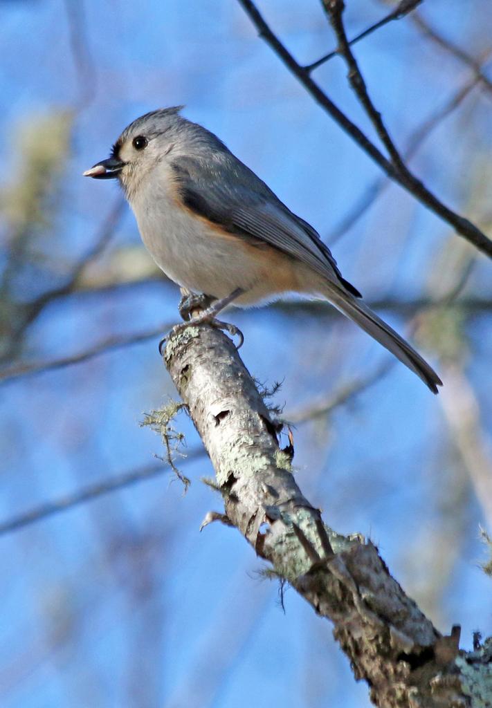 Tufted Titmouse, Trustom Pond Nat. Wildlife Refuge, RI