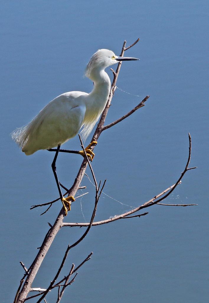 Snowy Egret, High Island, TX