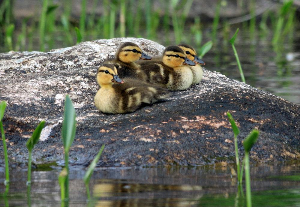 Mallards, Ricker Pond, VT