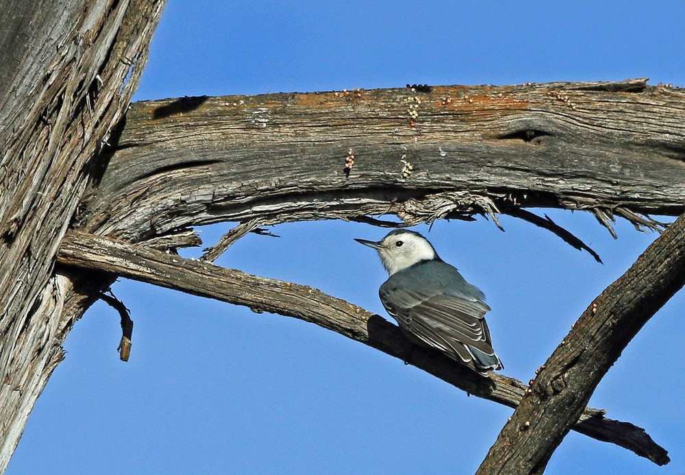 White-breasted Nuthatch, Grand Canyon, AZ