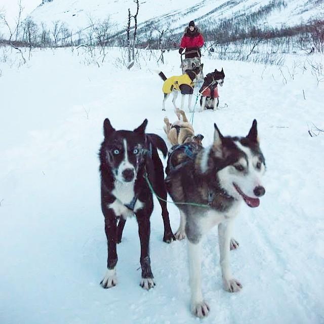 Dog sledding in Tromso -AMAZING! #bucketlist ✔️#travel #norway #beautifuldogs