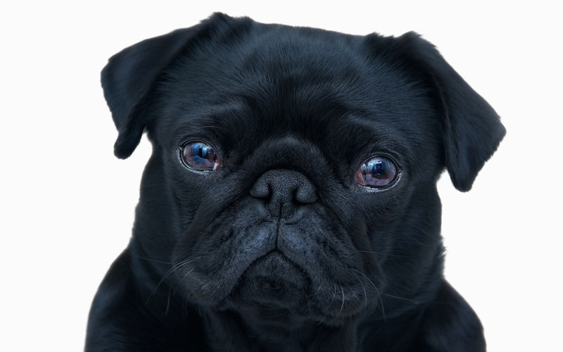 pug-black-dog-dramatic-sad-eyes-close-up-wide-white.jpg