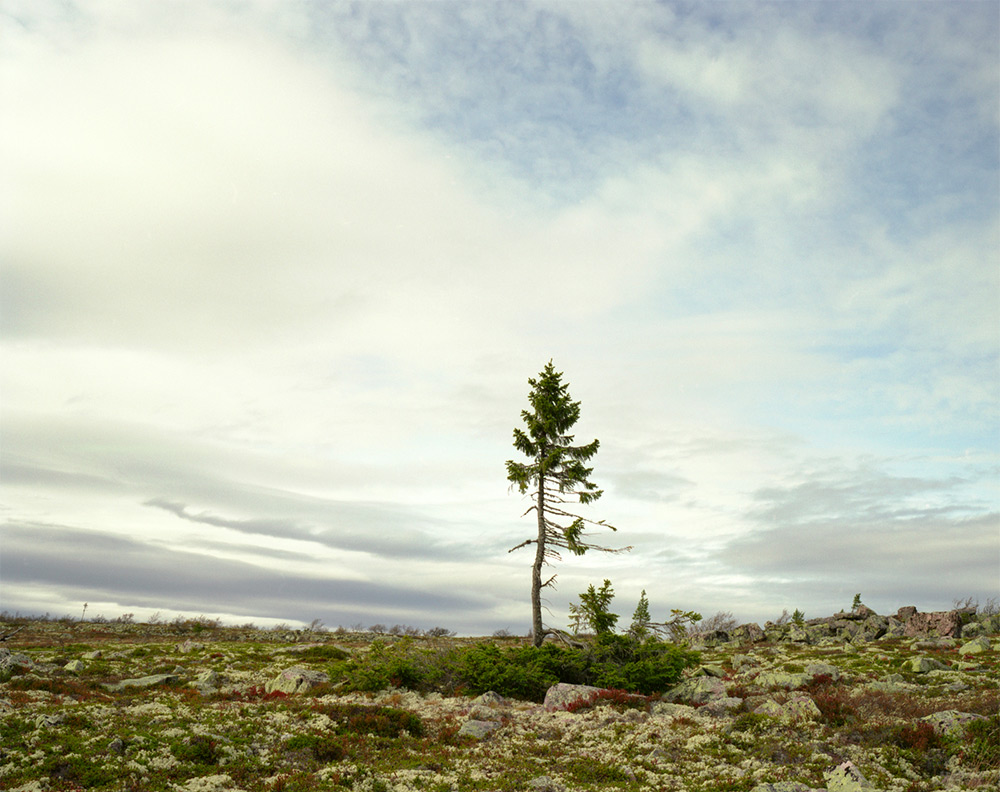 Spruce Gran Picea #0909 – 11A07 (9,550 years old; Fulufjället, Sweden)