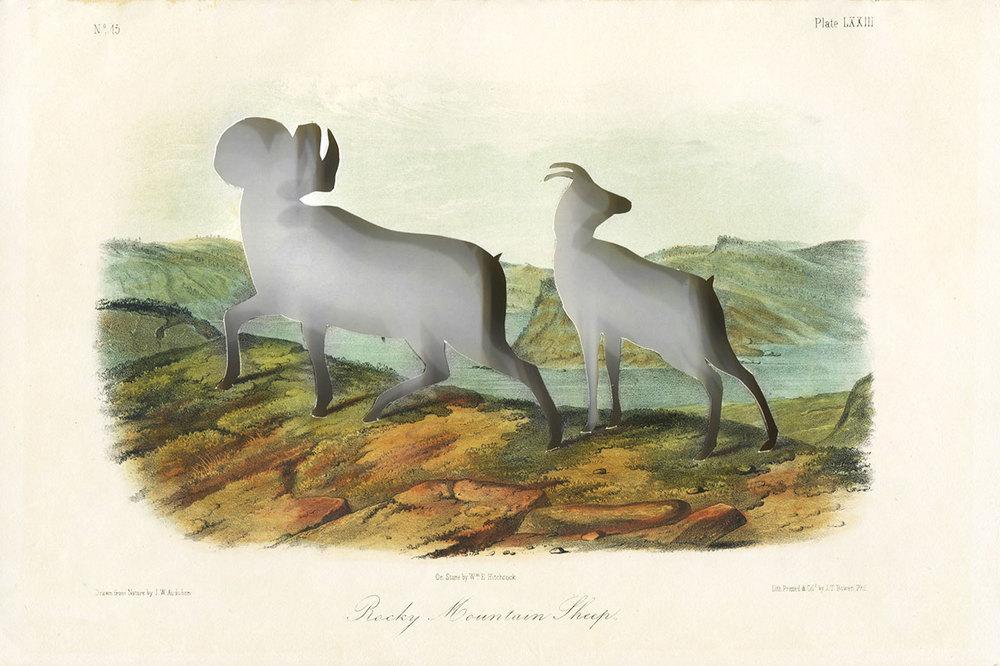 5_Audubons_bighorn_sheep.jpg