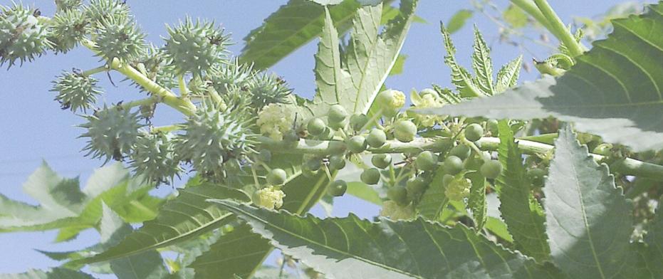Castor-oil-plants.jpg