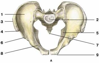 The human pelvis, seen from above. The back of the body is on top, the front, on bottom. (The spine, if pictured, would come up from the platform labeled 2.)