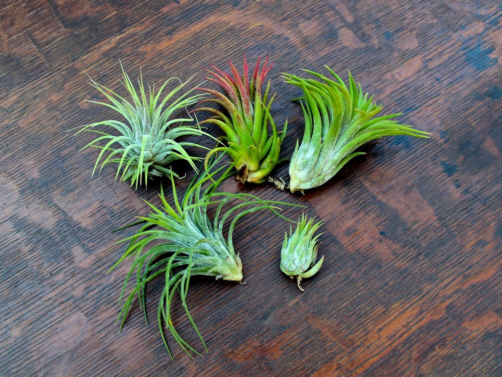 Air Plants - Similar available at plant in Inglewood