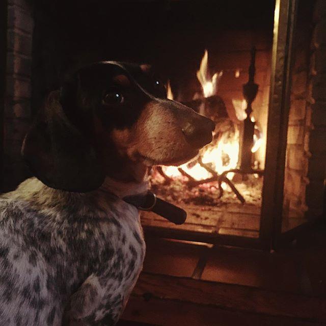 I'm thankful for this little man 💖 #happythankgiving #dog #dogstagram #instadog #dogsofinstagram #dog🐶 #doxie #doxiesofinstagram #doxielove #dachshund #weeniedog #sausagedog #dachshundlove #mansbestfriend