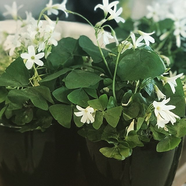 Shamrock ☘️ plants for St. Patrick's Day! . . . #wascanaflowershoppe #wascanaflowers #yqrflowers #yqrplants #plantlove #shamrock #stpatricksday