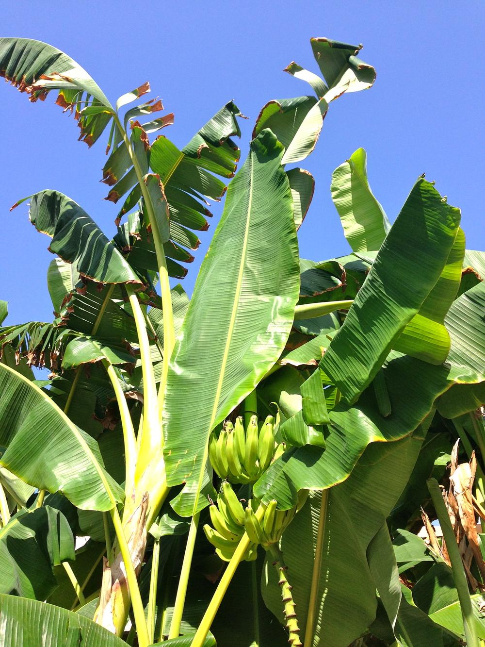 Banana tree!
