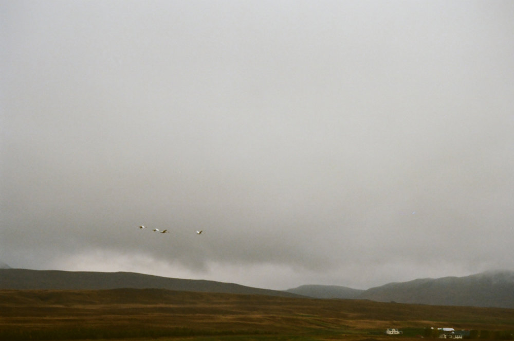 Swans over Northern Iceland