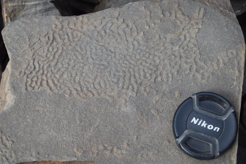"""Elephant skin"" texture from Ediacaran strata in CA"