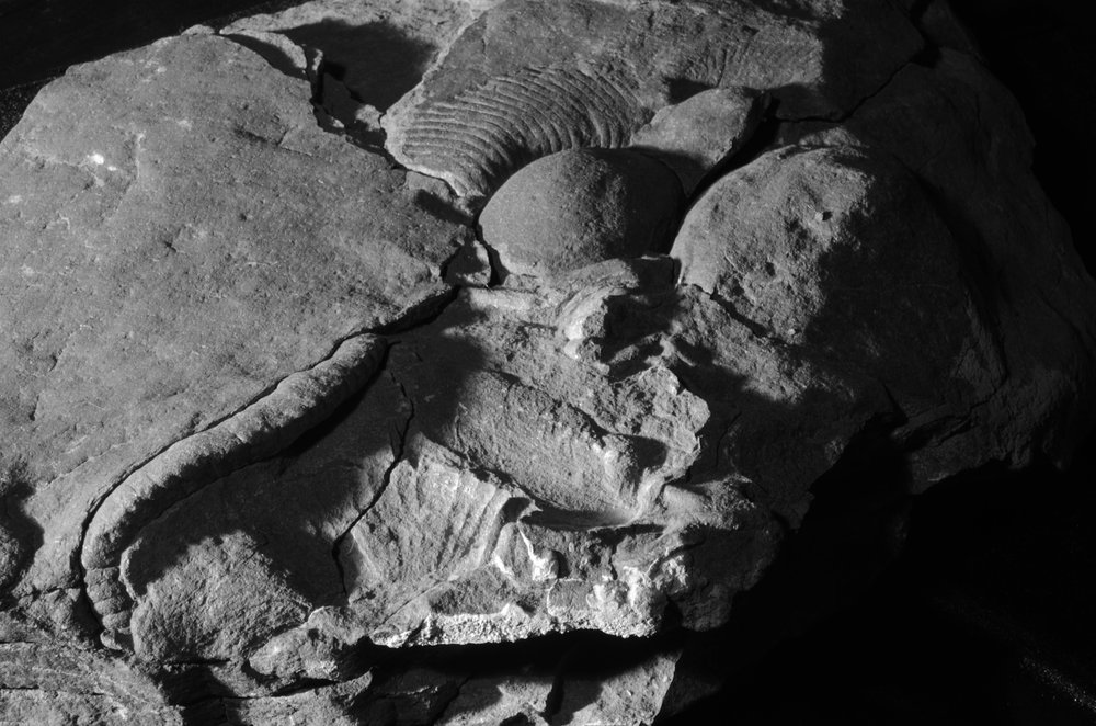 Ediacaran erniettomorphs from Nevada