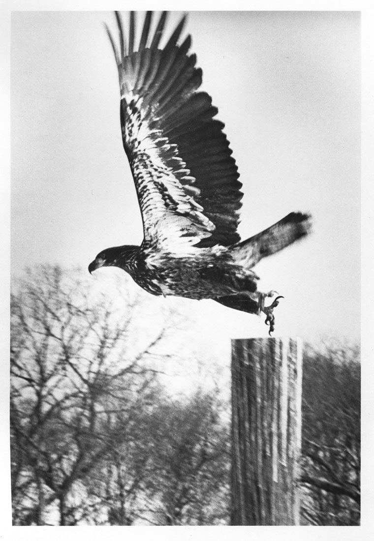 Bald Eagle Westport CT. 1979